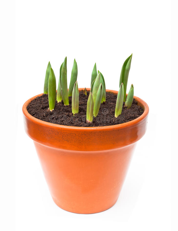 Geïsoleerd beeld van de tulpenspruiten in de bloempot royalty-vrije stock foto's