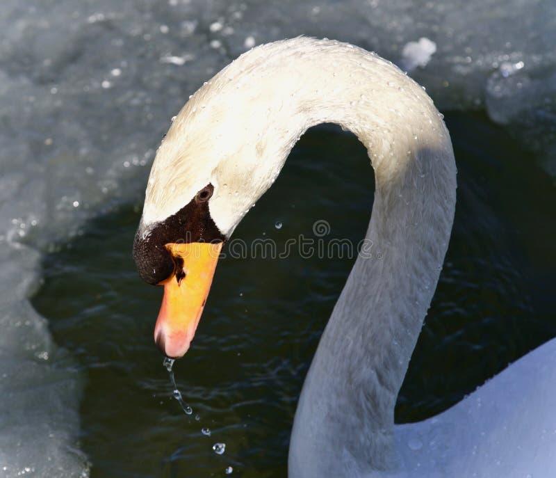 Geïsoleerd beeld van een stod zwaan drinkwater royalty-vrije stock fotografie