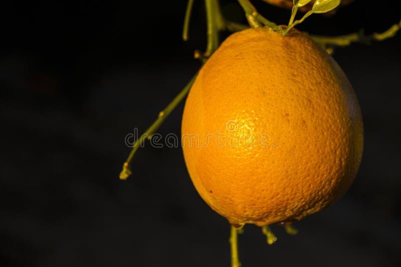 Geïsoleerd bloeiend oranje fruit op de bomen in citrusvruchtenaanplanting stock afbeeldingen