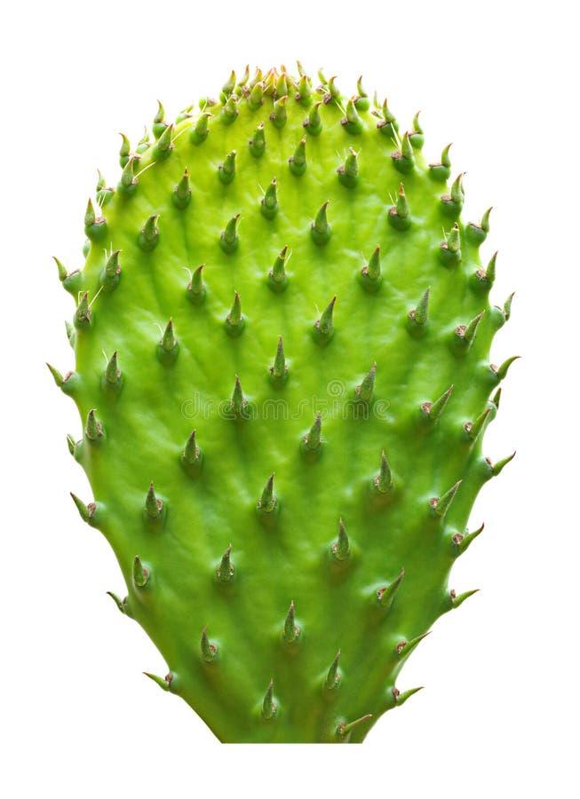 Geïsoleerd cactusblad royalty-vrije stock foto