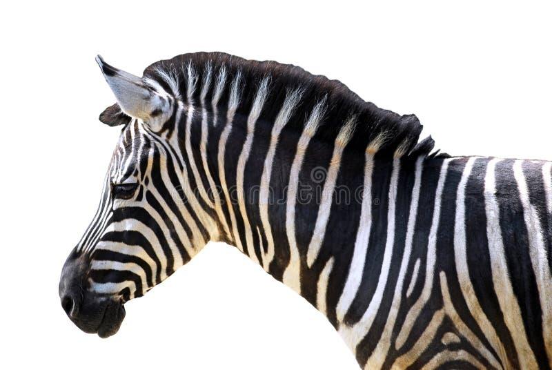 Geïsoleerd hoofd van zebra royalty-vrije stock foto