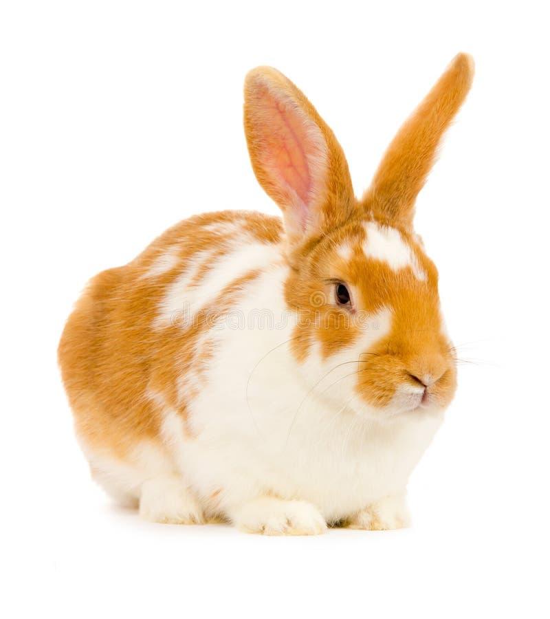 Geïsoleerd1 konijn royalty-vrije stock foto