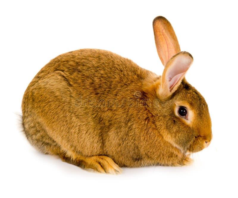 Geïsoleerd1 konijn stock fotografie