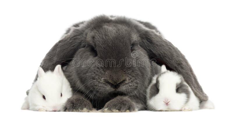 Geïsoleerd konijn met hangende oren en jonge konijnen, stock afbeeldingen