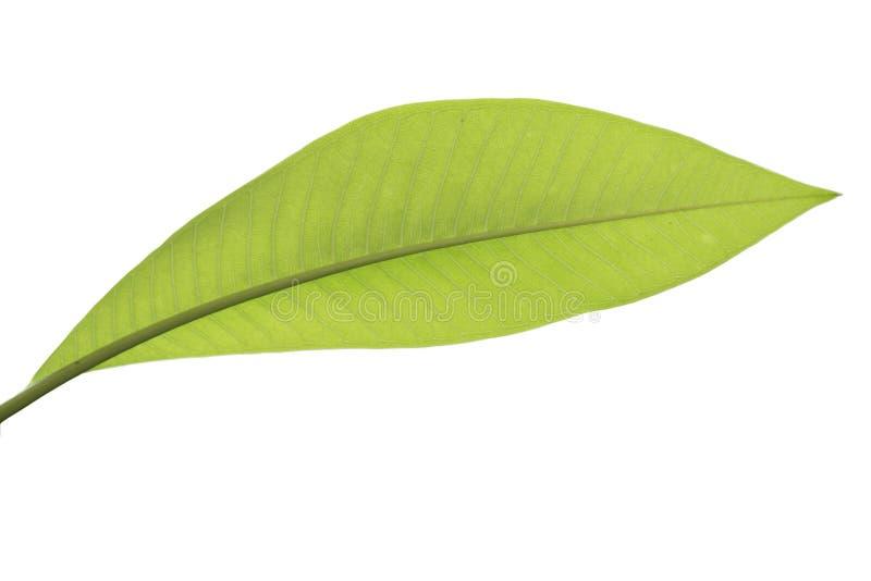 Geïsoleerd laurierblad De bladeren van de laurier op een witte achtergrond Bayleaf laurierweiland stock fotografie