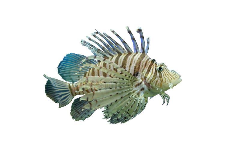 Geïsoleerd lionfish stock afbeeldingen