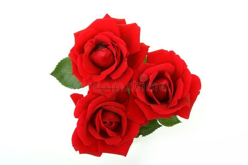 Geïsoleerd nam bloemen toe stock afbeeldingen
