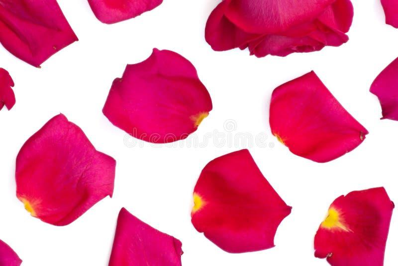 Geïsoleerd nam en heldere roze bloemblaadjes toe royalty-vrije stock fotografie
