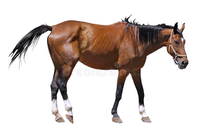 Geïsoleerd_ paard stock afbeelding