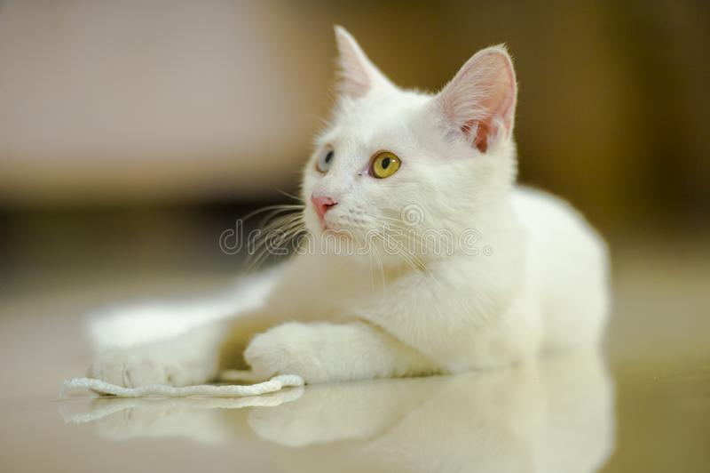 Geïsoleerd portret van witte mooie kat met verbazende verschillende kleurenogen, één oogblauw bij het bruine spelen thuis in binn royalty-vrije stock foto's