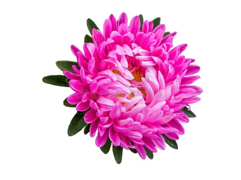 Geïsoleerd roze bloesemgerbera of madeliefje Kleurrijke bloem op witte achtergrond stock fotografie