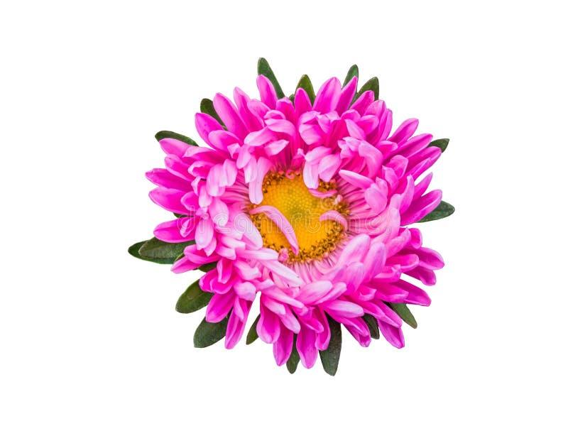 Geïsoleerd roze bloesemgerbera of madeliefje Kleurrijke bloem op witte achtergrond royalty-vrije stock afbeeldingen