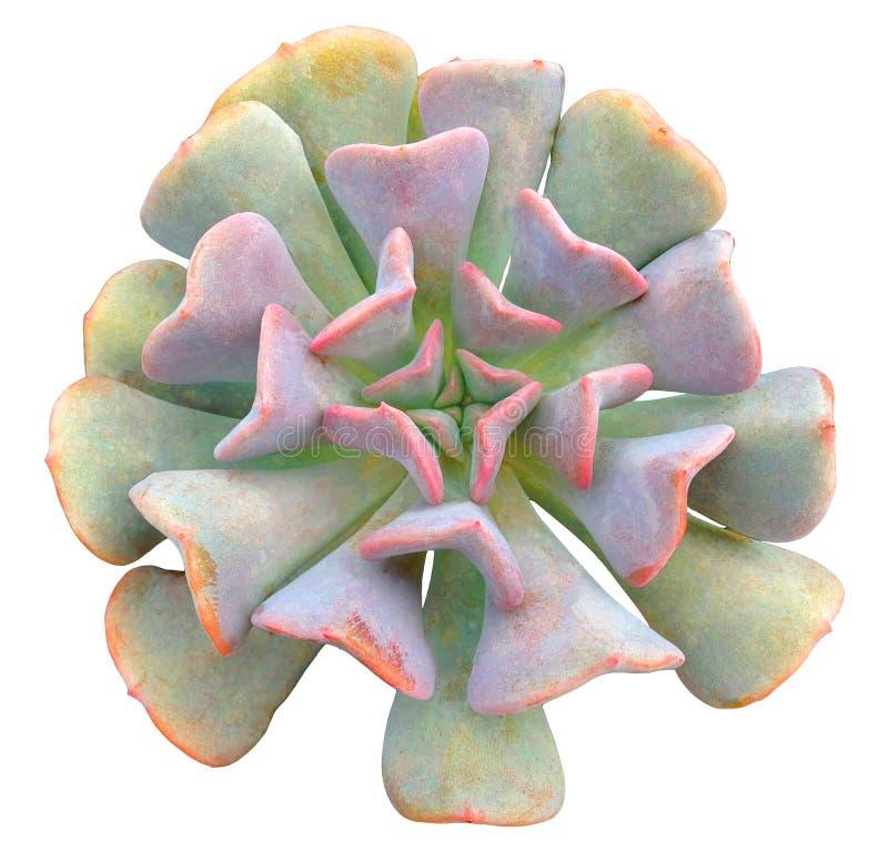 Geïsoleerd succulent stock foto