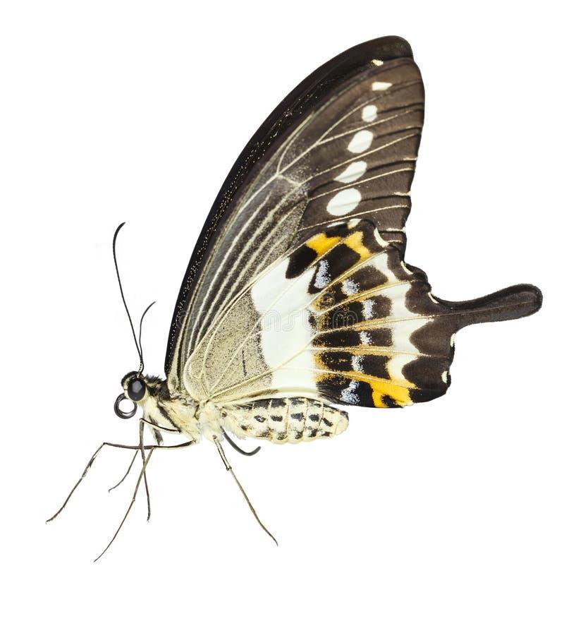 Geïsoleerd van gestreepte swallowtail demolion van vlinderpapilio op w stock foto