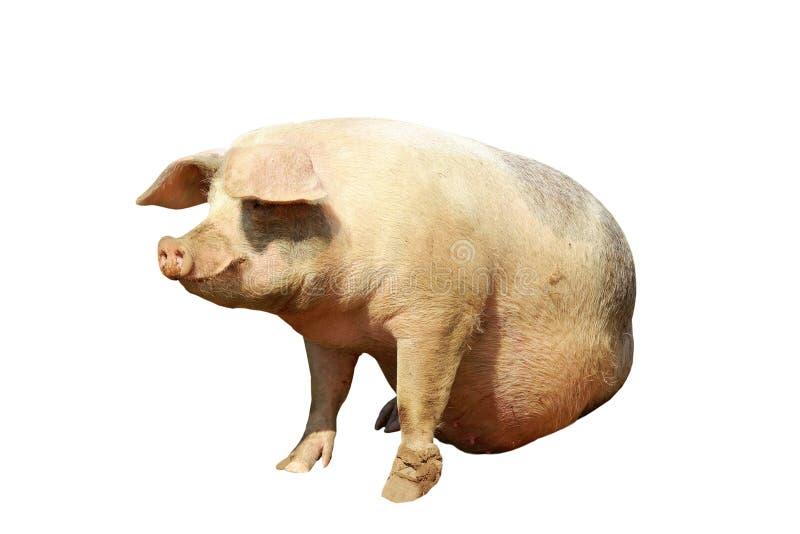 Geïsoleerd volledig lengte binnenlands varken stock foto's