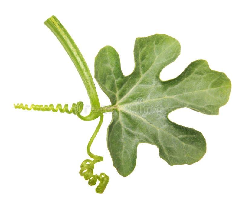 Geïsoleerd watermeloenblad royalty-vrije stock foto