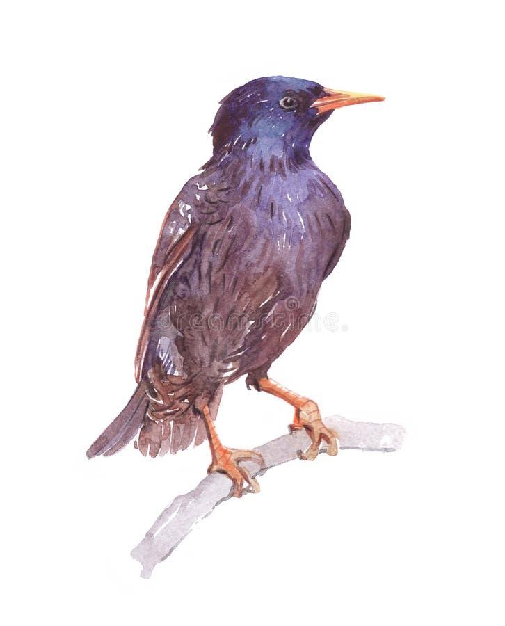 Geïsoleerd waterverf enig starling dier vector illustratie