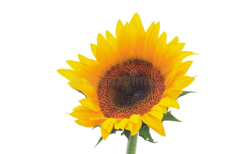Geïsoleerd zonnebloemdetail op witte achtergrond stock fotografie