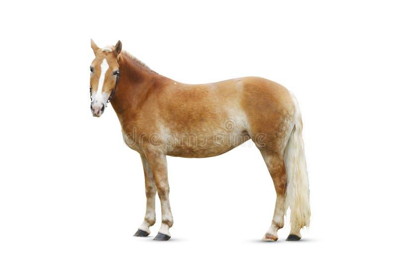 Geïsoleerda paard royalty-vrije stock afbeelding