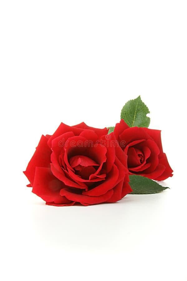 Geïsoleerdb nam bloemen toe stock fotografie