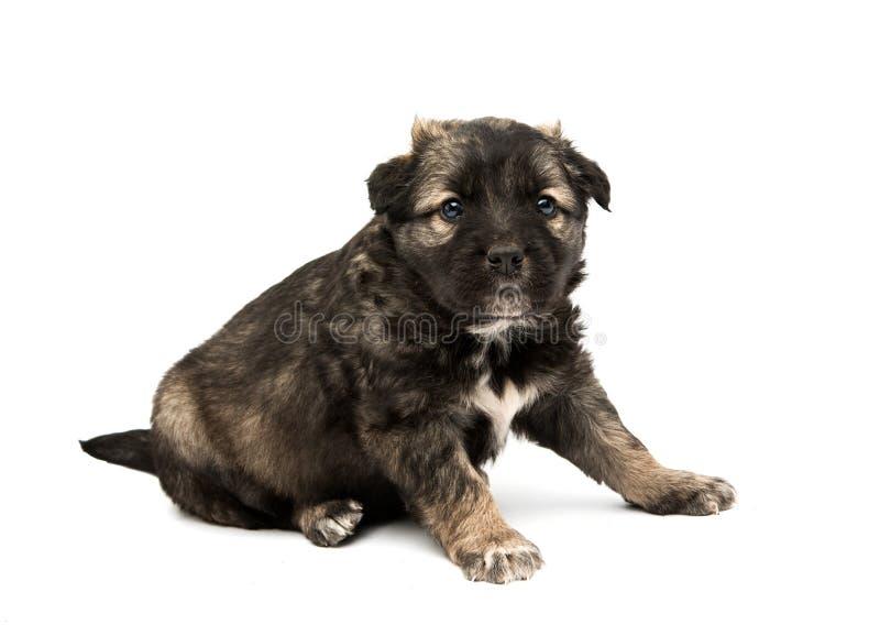 Geïsoleerdb puppy stock foto