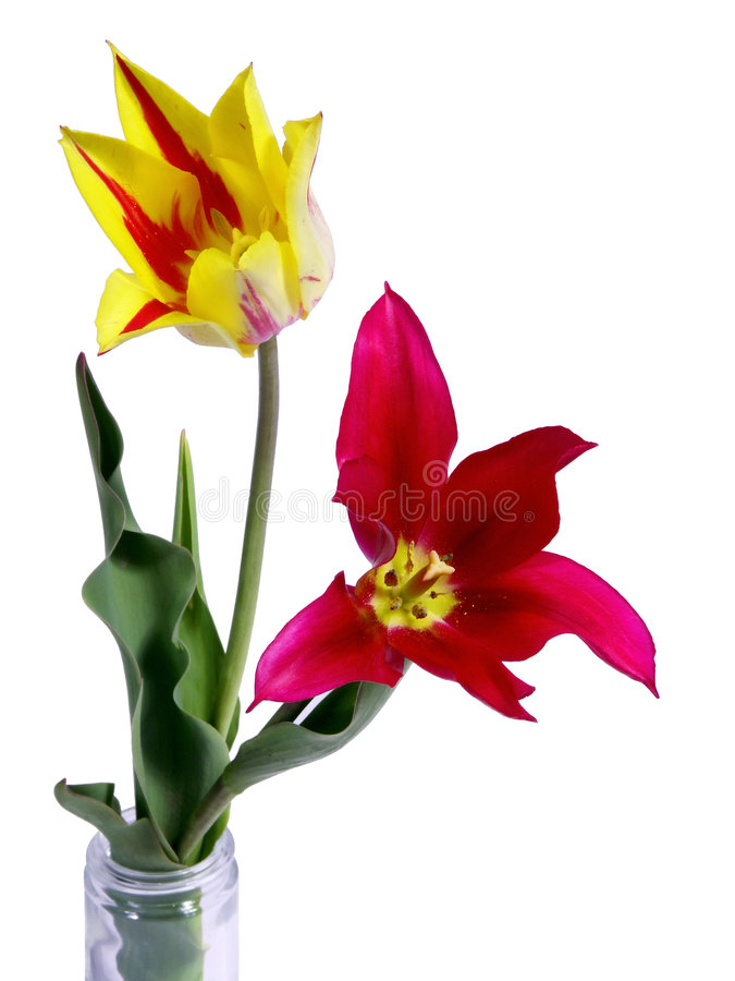 Geïsoleerde© tulpen stock foto's