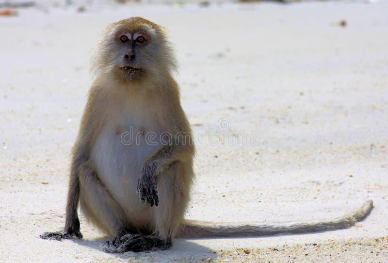 Geïsoleerde aapkrab die Macaque met lange staart, Macaca-fascicularis eten die rechtop in mens zoals positie inzake eenzaam stran royalty-vrije stock afbeeldingen