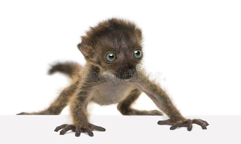 Geïsoleerde baby blauw-Eyed Zwarte Maki, 20 oude dagen stock afbeeldingen