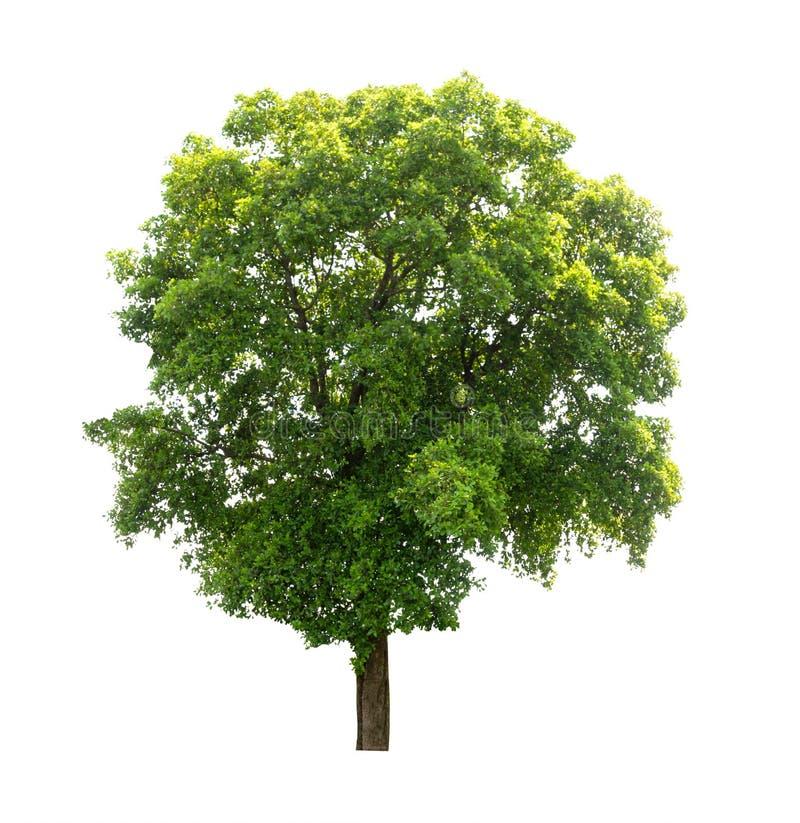 Geïsoleerde boom op witte achtergrond royalty-vrije stock afbeelding