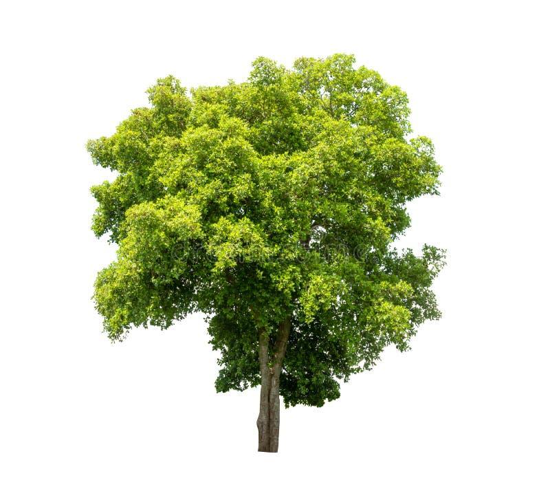 Geïsoleerde boom op witte achtergrond royalty-vrije stock foto