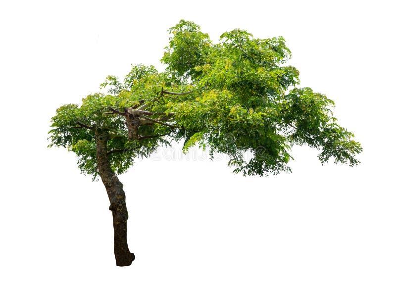 Geïsoleerde boom op witte achtergrond stock afbeelding