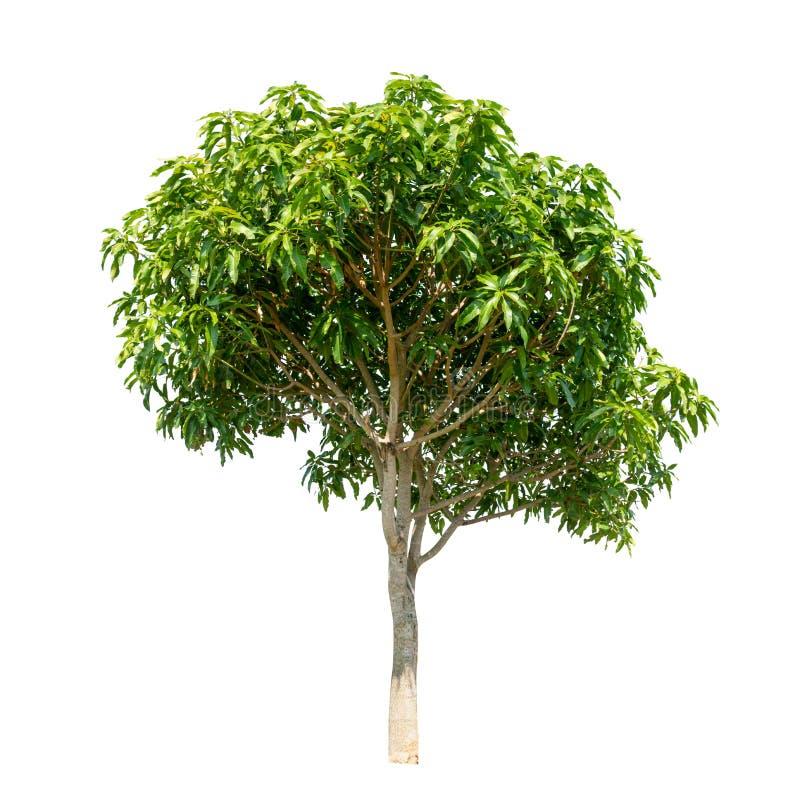 Geïsoleerde boom op witte achtergrond stock afbeeldingen