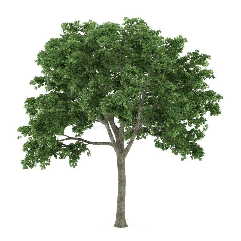 Geïsoleerde boom. Ulmus stock illustratie