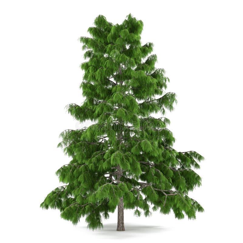 Geïsoleerde boompijnboom. Cedrusdeodara royalty-vrije stock afbeelding