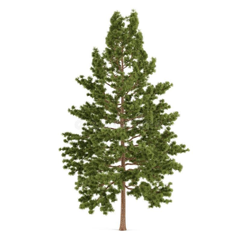 Geïsoleerde boompijnboom. Pinus strobus royalty-vrije illustratie