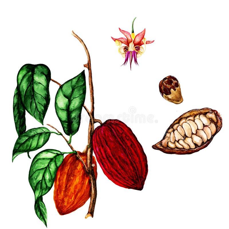 Geïsoleerde botanische illustratie van cacao, de illustratie van de waterverfcacao, hand getrokken cacao vector illustratie