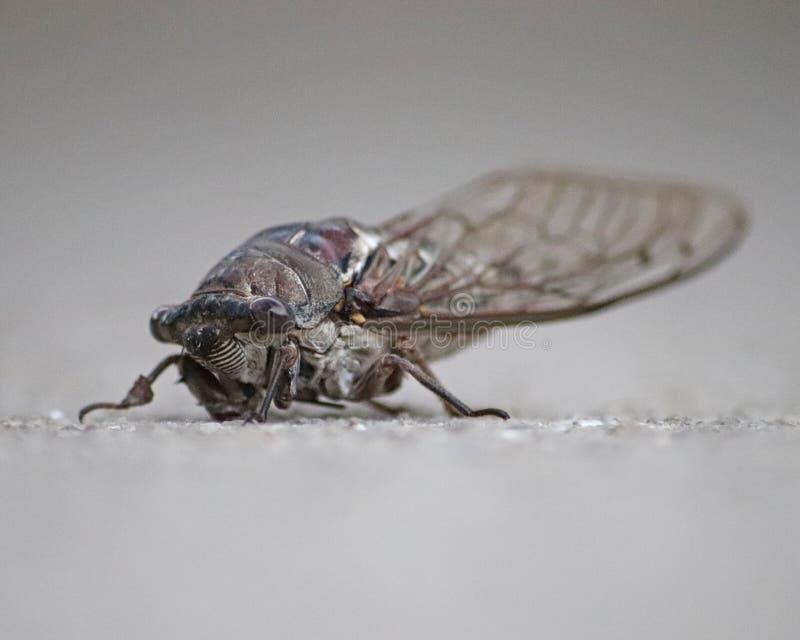 Geïsoleerde close-up van een groot insect van de Cicadecicadoidea van Florida royalty-vrije stock fotografie