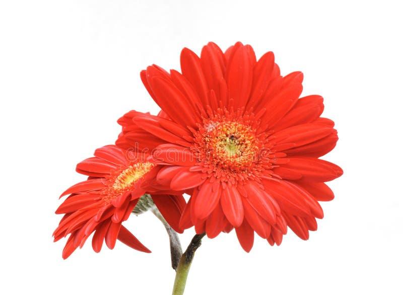 Geïsoleerde de bloem van Gerbera royalty-vrije stock foto
