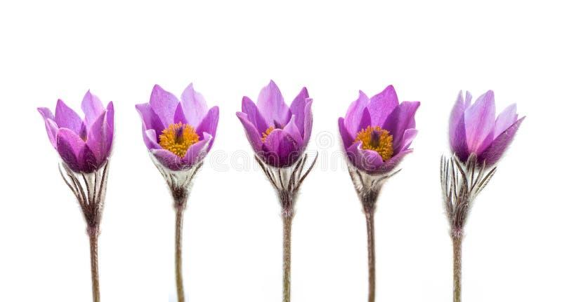 Geïsoleerde de bloemen van de de lenteanemoon stock fotografie