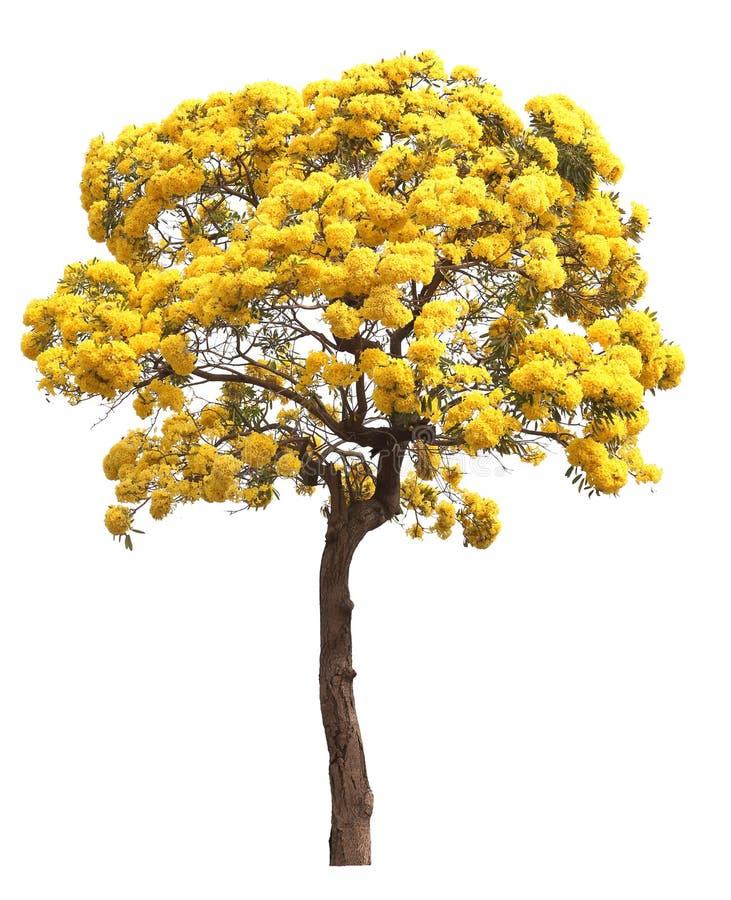 Geïsoleerde de bloesemboom van de tabebuia gouden gele bloem op witte achtergrond stock afbeelding