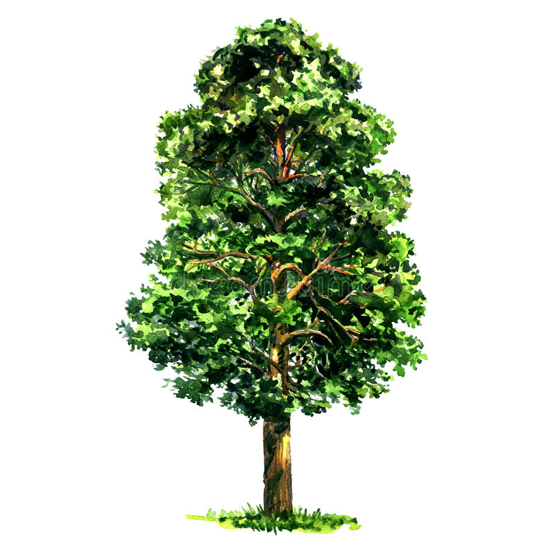Geïsoleerde de boom van de sparpijnboom, waterverfillustratie op wit royalty-vrije illustratie