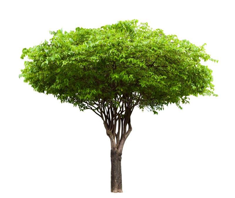 Geïsoleerde de boom van Wrightiareligiosa stock foto