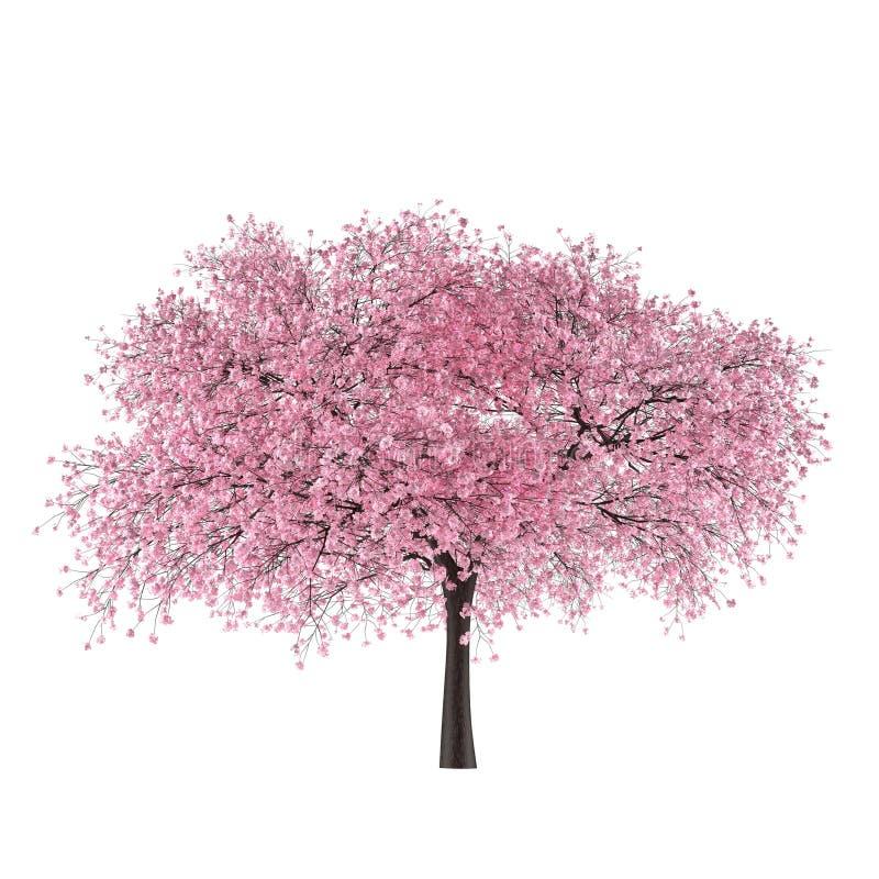 Geïsoleerde de boomsakura van Japan. Prunus cerasus royalty-vrije stock foto