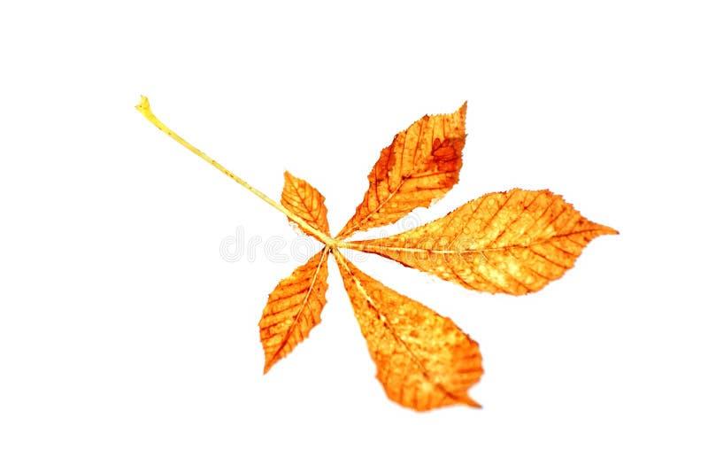 Download Geïsoleerde de herfstblad stock afbeelding. Afbeelding bestaande uit scherp - 10776487