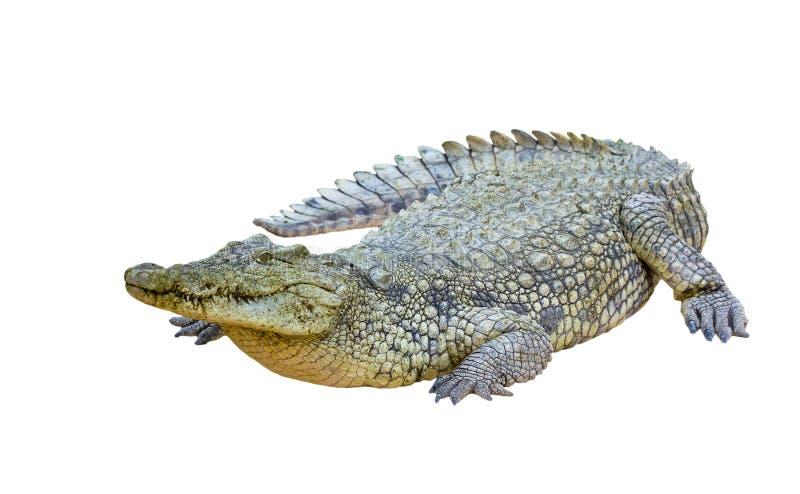 Geïsoleerde de krokodil van Nijl (niloticus Crocodylus) royalty-vrije stock foto