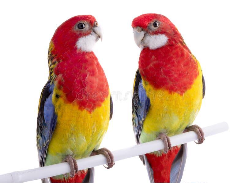 Geïsoleerde de papegaai van twee papegaairosella royalty-vrije stock foto