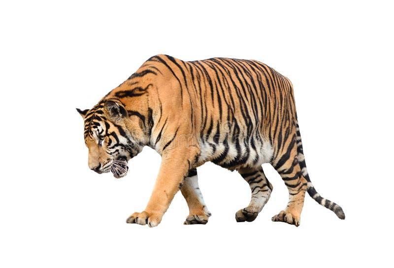 Geïsoleerde de tijger van Bengalen stock afbeelding