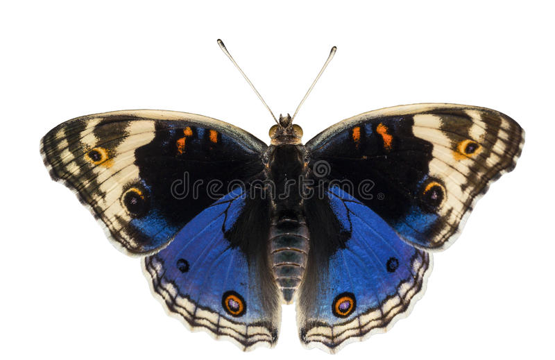 Geïsoleerde dorsale mening van mannelijke blauwe viooltjevlinder Junonia orit stock fotografie