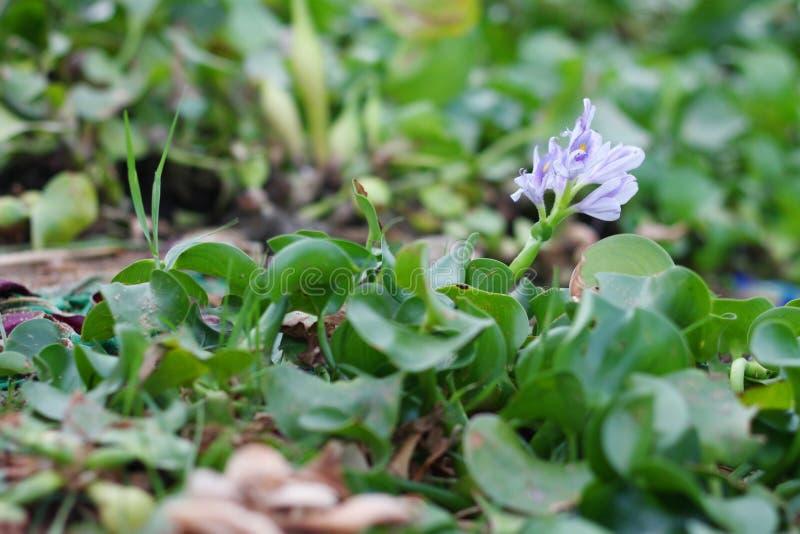 Geïsoleerde Eichornia-installatie met bloem - gemeenschappelijke waterhyacint stock afbeeldingen
