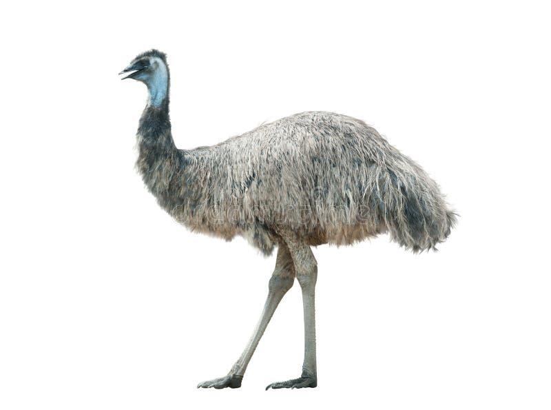 Geïsoleerde emoe royalty-vrije stock afbeeldingen